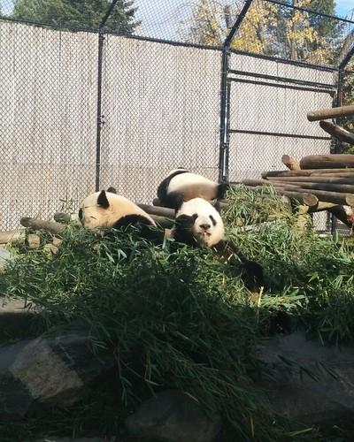 Er Shun, Jia Panpan, Jia Yueyue (5) #toronto #torontozoo #pandas #giantpandaexperience #ershun #jiapanpan #jiayueyue #bamboo #latergram
