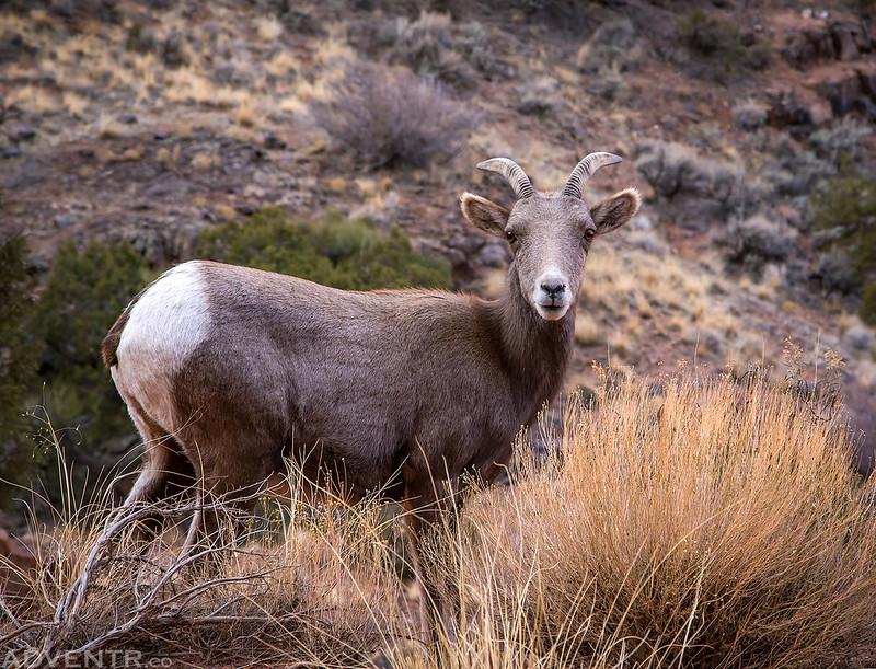 Roadside Bighorn Sheep