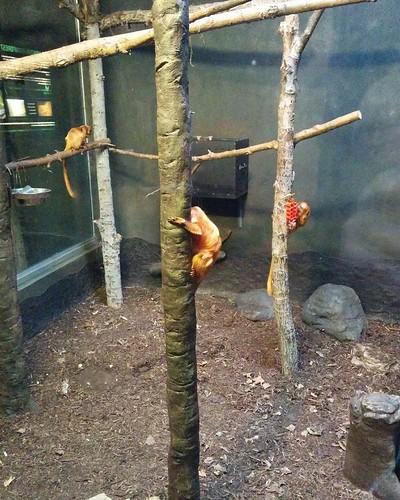 Tamarins #toronto #torontozoo #tamarin #mammal #primate #latergram