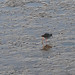 SWCP: River Taw & Redshank