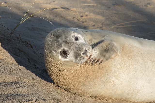Baby Grey Seal at Horsey, Norfolk