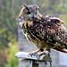 Talia the Eagle Owl
