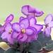 非洲紫羅蘭 Saintpaulia Halo's Aglitter   [香港北區花鳥蟲魚展 North District Flower Show, Hong Kong]