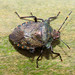 Bronze Shieldbug, Kingmoor Nature Reserve, 3 January 18