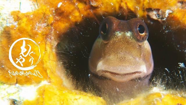 イシガキカエルウオは正面顔がカワイイw