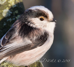 Mésange à longue queue Aegithalos caudatus - Long-tailed Tit : Michel NOËL © 2018-7607.jpg