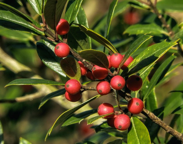 Red Holly Berries