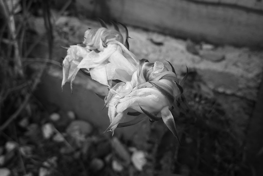 20171218_Cactus_Flowers_gone_BW