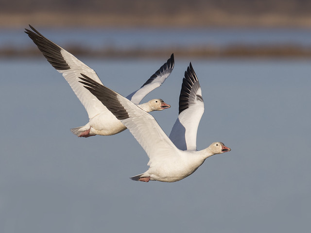 Snow Geese on winter Solstice Day