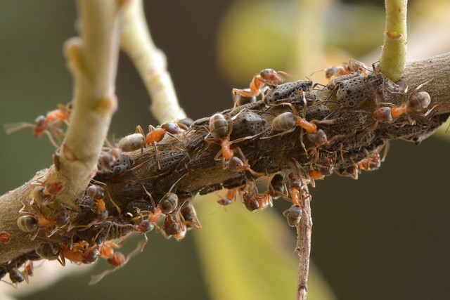 Ants tending Giant Willow Aphids (Tuberolachnus salignus) on Arroyo Willow