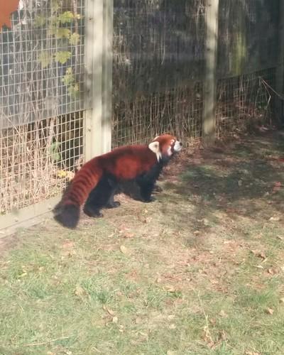 Red panda #toronto #torontozoo #redpanda #latergram