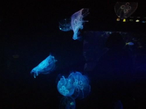 Jellyfish #toronto #torontozoo #jellyfish #latergram