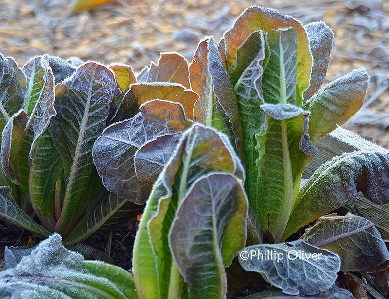 lettuce-frost