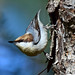 Barking Down the Right Tree~ Brown-headed Nuthatch (Sitta pusilla) by Brody J