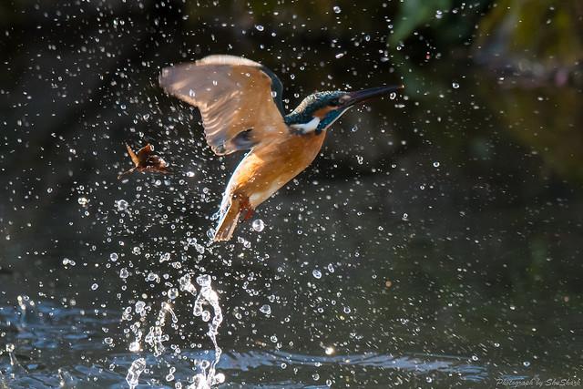 20171225-kingfisher-DSC_2288