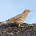 Meadow Pipit-2