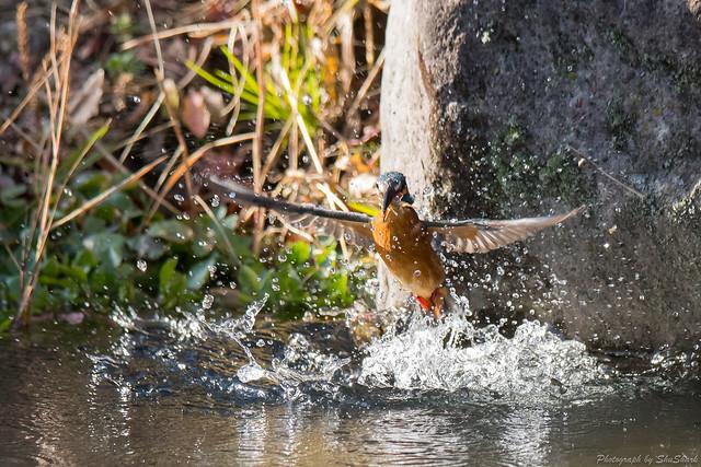 20171225-kingfisher-DSC_2432