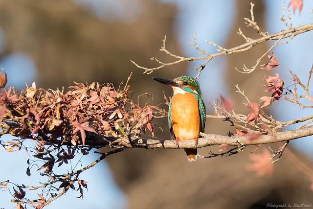 20171225-kingfisher-DSC_2132