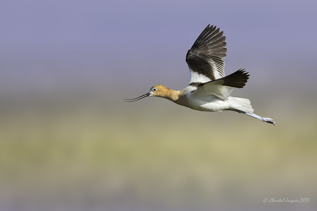 Birding Calgary- Avocet with flying colours
