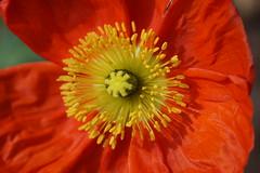 island poppy