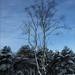 Lonesome Birch