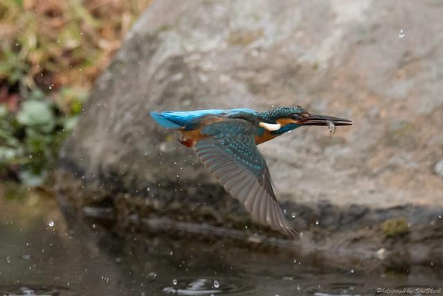 20171224-kingfisher-DSC_1605