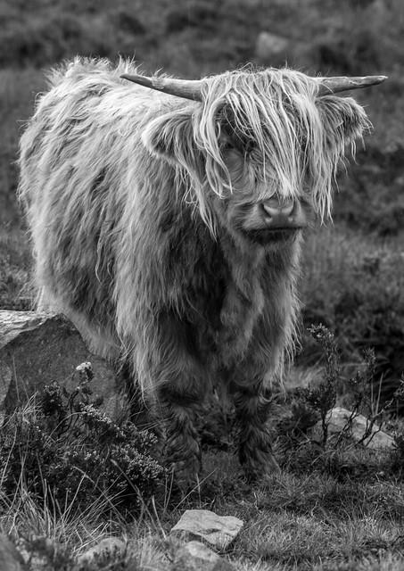 hairy coo