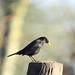 Blackbird, Taken @ Victoria Park, Widnes, Cheshire, England.