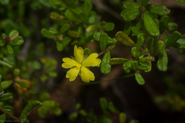 raspy guinea flower