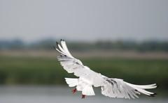 Gull Sliding