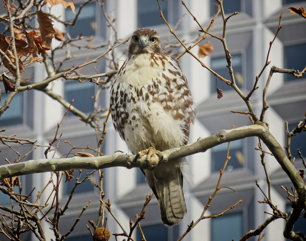 Red-tail in Battery Park
