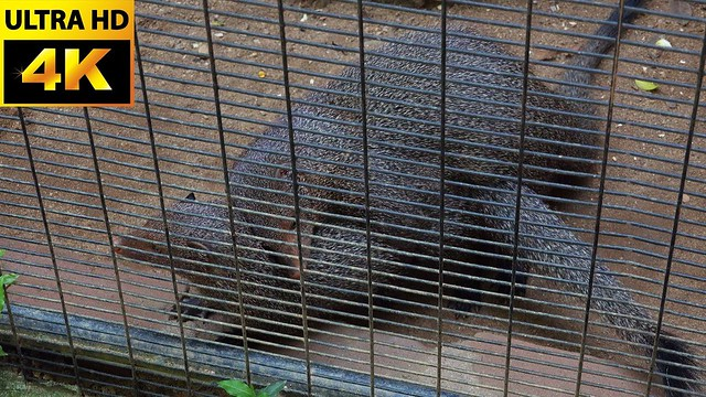 Ruddy mongoose couple is going to XXX?   Ruddy mongoose lovely couple- 4K VIDEOS COLLECTION at ZOO