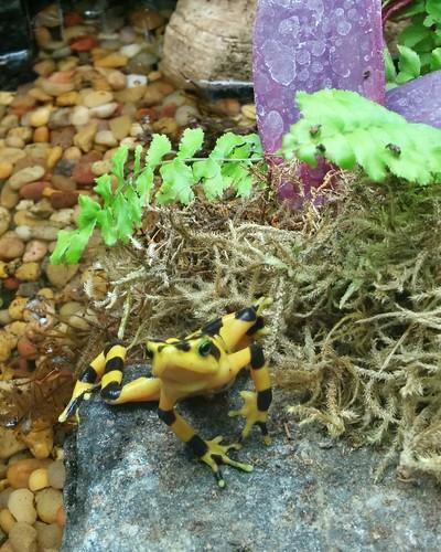 Golden frog #toronto #torontozoo #amphibians #frog #goldenfrog #latergram