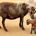 Cameroon Sheep and Lamb