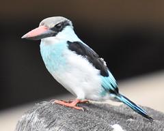 A Blue Breasted Kingfisher at Kotu bridge, Gambia
