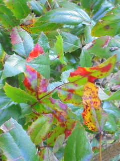 Mahonienblätter