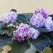 非洲紫羅蘭 Saintpaulia LE-Isadora   [香港北區花鳥蟲魚展 North District Flower Show, Hong Kong]