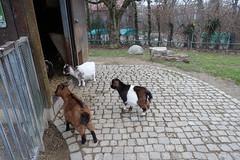 Pygmy goats @ Zoo @ Bois de la Bâtie @ Geneva