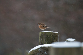 Stonechat in snow