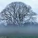 Yule oak