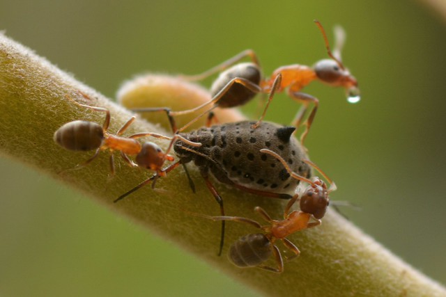 Ants tending a Giant Willow Aphid (Tuberolachnus salignus) on Arroyo Willow