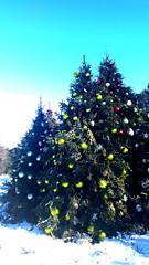 NYBG Christmas Trees I