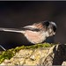Small photo of Long-tailed Tit (Aegithalos caudatus)