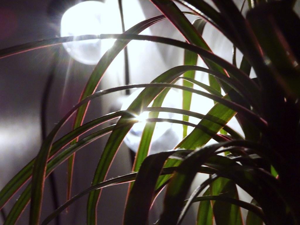 kasvi1