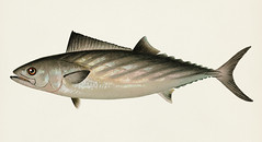 Bonito ( Sarda Sarda) illustrated by Sherman F. Denton (1856-1937) from Game Birds and Fishes of North America. Digitally enhanced from our own 1913 Portfolio Edition of the book.