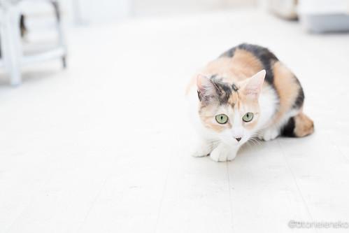 アトリエイエネコ Cat Photographer 38542016055_c5eef68ae6 NPO法人 東京キャットガーディアン