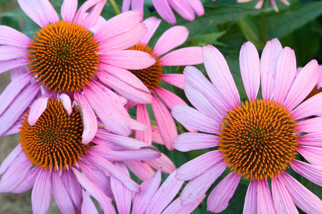 Four purple coneflower blossoms grow close together
