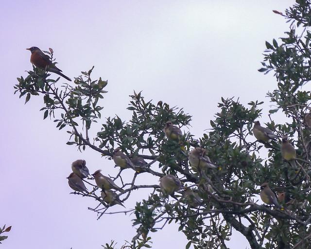 American Robin and Cedar Waxwings