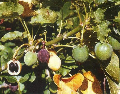 जट्रोफा के गुच्छेदार फल व परिपक्व बीज