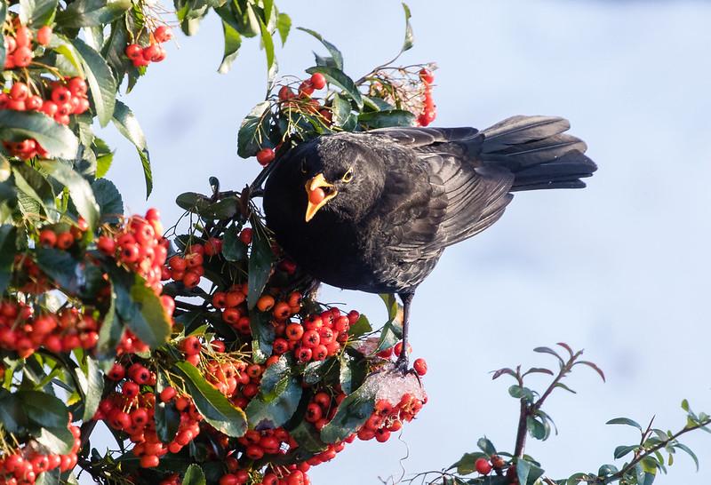 male blackbird 142g_606